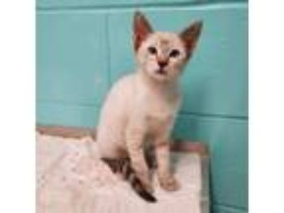 Adopt Snow a Cream or Ivory Siamese (short coat) cat in Umatilla, FL (25914677)