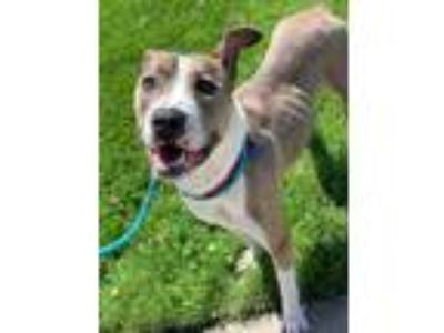 Adopt Avocado a Gray/Silver/Salt & Pepper - with White American Pit Bull Terrier