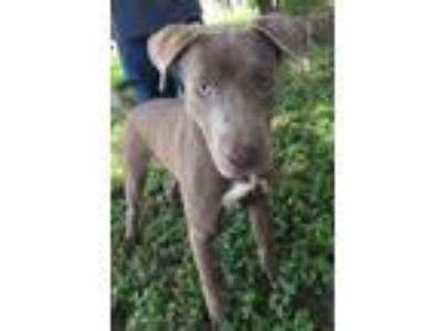 Adopt King a Pit Bull Terrier, Labrador Retriever