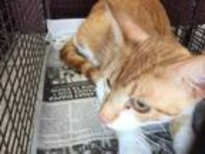 Adopt CHICKEN NUGGET a Orange or Red (Mostly) Domestic Shorthair / Mixed (short