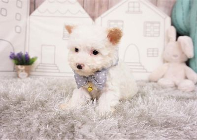 James the Maltipoo ($1,300)