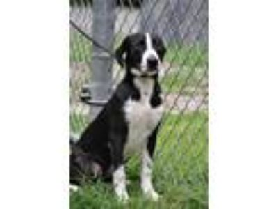 Adopt Oreo Puppy! 5 Months Old a Black - with White Hound (Unknown Type) /