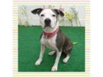 Adopt LYNDSAY a Gray/Silver/Salt & Pepper - with White Pit Bull Terrier / Mixed