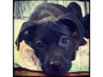 Adopt Ebony a Black Labrador Retriever / Mixed dog in Grand Bay, AL (22048770)