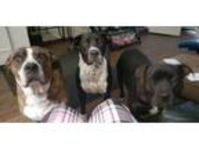 Adopt Astrid a Black - with White Dalmatian / American Staffordshire Terrier /