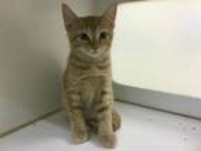 Adopt CINNAMON a Domestic Short Hair