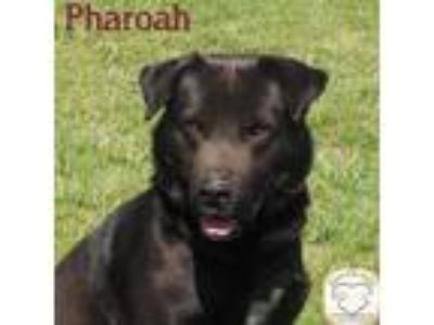 Adopt Pharaoh a Labrador Retriever / Mixed dog in Washburn, MO (21303825)
