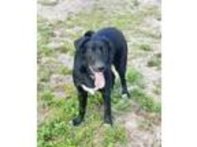 Adopt Stray - Taco Bell Inv - Avail 5-14 a Black Retriever (Unknown Type) /