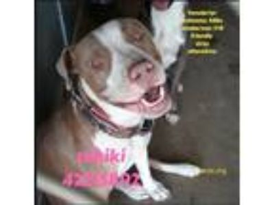 Adopt 42215892 a White American Pit Bull Terrier / Mixed dog in Edinburg