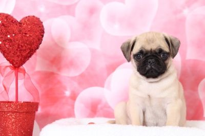 Pug PUPPY FOR SALE ADN-63456 - Riley Good Looking Male AKC Pug Puppy