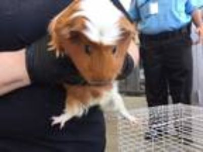 Adopt FELIX a Red Guinea Pig / Mixed small animal in San Antonio, TX (25931317)