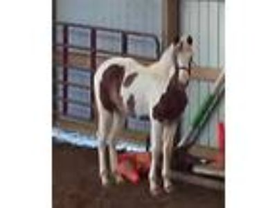 Sold Ors Barbie Beatrisa Homozygous Filly