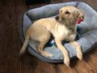 Adopt Lola a Tan/Yellow/Fawn Terrier (Unknown Type, Small) dog in Hanford