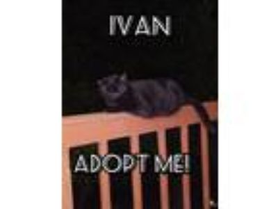 Adopt Ivan a All Black Domestic Shorthair (short coat) cat in Lavon
