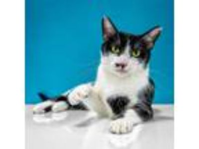Adopt Norma Jean a Black & White or Tuxedo Domestic Shorthair (short coat) cat