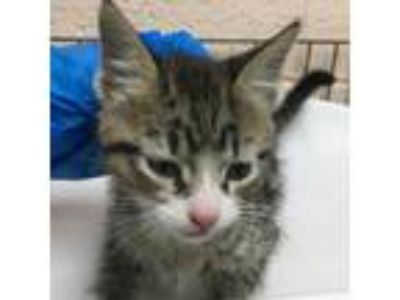 Adopt 86375 a Brown or Chocolate Domestic Shorthair cat in Las Cruces