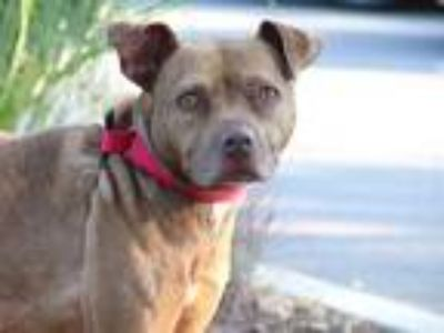 Adopt AMBER a Brindle - with White American Pit Bull Terrier / Labrador