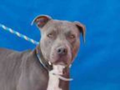 Adopt TIDUS a Pit Bull Terrier
