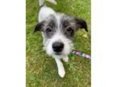 Adopt Scruffy - Avail May 18 - CT a Terrier, Australian Shepherd