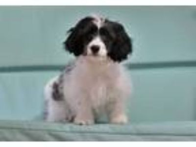 Adopt Scooter a White Cavalier King Charles Spaniel / Poodle (Miniature) dog in