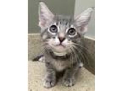 Adopt Merlin a Gray, Blue or Silver Tabby Domestic Shorthair (short coat) cat in