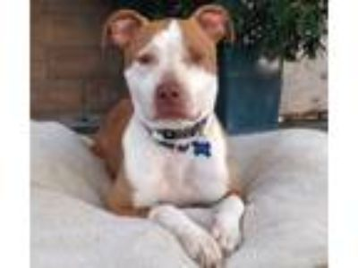 Adopt Adorable Brady a American Staffordshire Terrier, Pointer