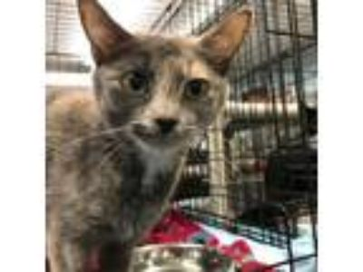 Adopt Cher a Calico or Dilute Calico Domestic Shorthair cat in Roanoke