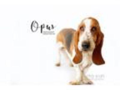 Adopt Opus a Basset Hound
