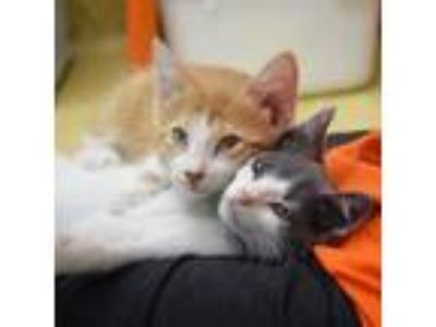 Adopt Milan a Orange or Red (Mostly) Domestic Shorthair (short coat) cat in