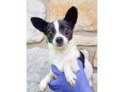 Adopt Violet a Black Jack Russell Terrier / Mixed dog in Spring City