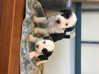 Sheepadoodle PUPPY FOR SALE ADN-69415 - Shaggy Sheepadoodles