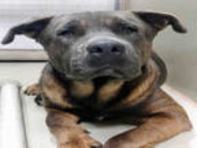 Adopt PUPPY a Black Mastiff / American Pit Bull Terrier / Mixed dog in