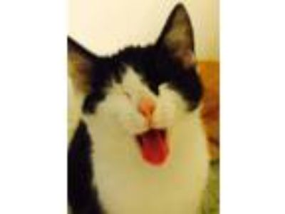 Adopt Zorro a Black & White or Tuxedo Domestic Shorthair (short coat) cat in