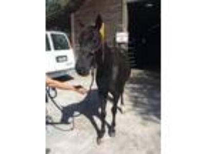 Adopt Ebony (Horse) a Quarterhorse / Grade / Mixed horse in FREEPORT