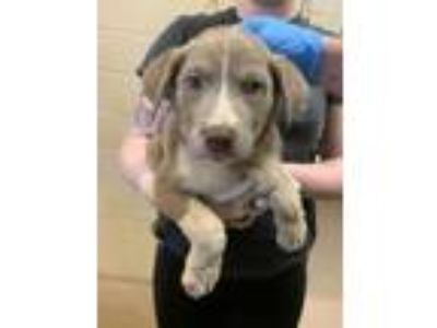 Adopt Tim* a Tan/Yellow/Fawn Shepherd (Unknown Type) / Mixed dog in Anderson