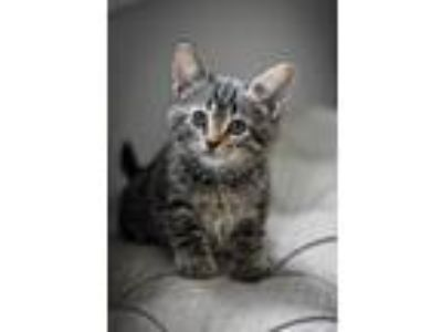 Adopt Diana Prince a Domestic Shorthair / Mixed (short coat) cat in Valrico