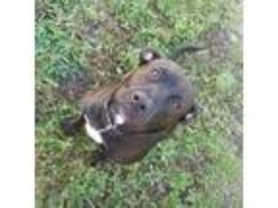 Adopt Roxas a Black - with White Labrador Retriever dog in Kissimmee