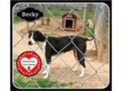 Adopt Becky a Black - with White Border Collie / Cattle Dog / Mixed dog in