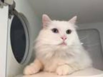 Adopt Sleven a Domestic Long Hair