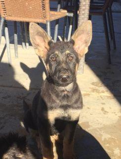 German Shepherd Dog PUPPY FOR SALE ADN-97468 - AKC Registered German Shepherd Puppies