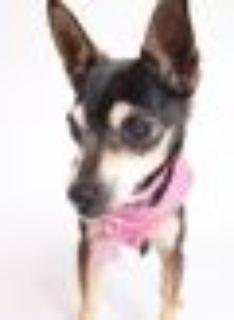Ophelia Miniature Pinscher - Mixed Breed Dog