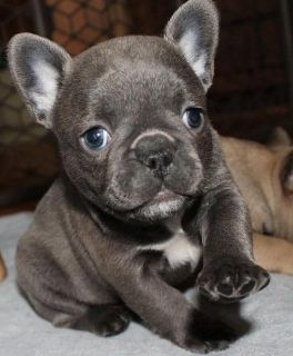 PROSPEROUS French bulldog puppies ready