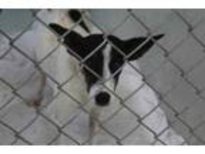 Adopt Carmello a Black Jack Russell Terrier / Mixed dog in Daytona Beach