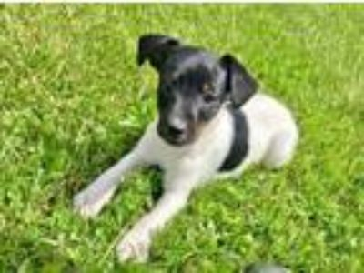 Adopt Ernie a Toy Fox Terrier, Rat Terrier