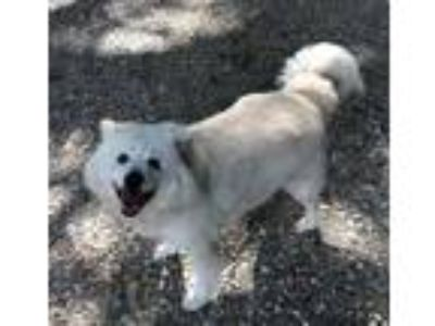 Adopt Queenie a White Finnish Spitz / Mixed dog in Lafayette, LA (25429592)