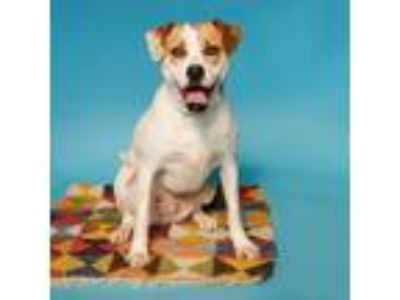 Adopt Rusty a White - with Tan, Yellow or Fawn Hound (Unknown Type) dog in