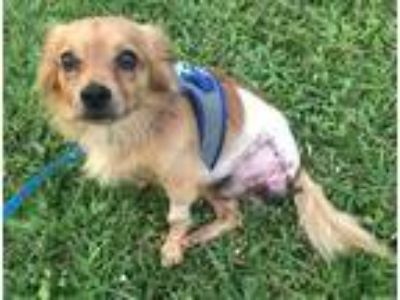 Adopt RUDY a Spitz (Unknown Type, Medium) / Pomeranian / Mixed dog in Fort