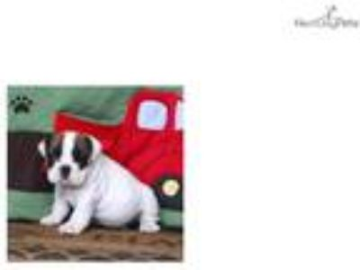 Kip - English Bulldog
