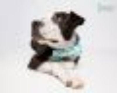 Mylo Pit Bull Terrier Dog