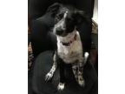 Adopt Jasmine a Border Collie
